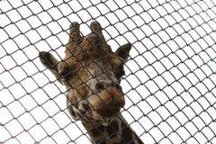 Жираф в зоопарке Москвы Стоковая Фотография