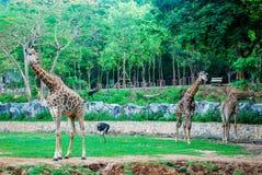 Жираф в зоопарке парка Стоковые Изображения RF