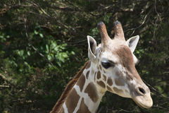 Жираф в зоопарке Стоковые Изображения RF