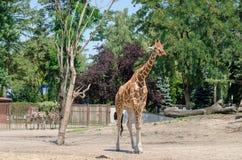 Жираф в зоопарке Wroclaw 2 зебры на предпосылке фронт Стоковые Фото