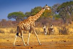 Жираф в лесе при деревья, выравнивая свет, заход солнца Идилличный силуэт с заходом солнца вечера оранжевым, Ботсвана жирафа, Афр Стоковая Фотография RF