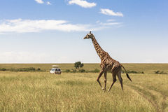 Жираф в Найроби Кении стоковое изображение