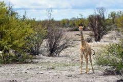 Жираф в Намибии Стоковое фото RF