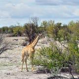 Жираф в Намибии Стоковая Фотография