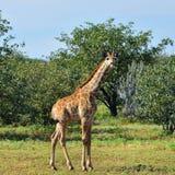 Жираф в Намибии стоковое фото
