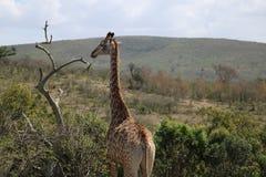 Жираф в натуральную величину Стоковая Фотография RF