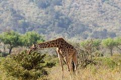 Жираф в национальном парке охраны живой природы Африки Стоковые Изображения RF