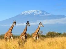 Жираф в национальном парке Кении стоковая фотография rf