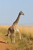 Жираф в национальном парке Кении Стоковая Фотография