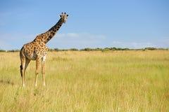 Жираф в национальном парке Кении Стоковые Изображения RF
