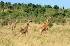 Жираф в национальном парке Кении Стоковое фото RF