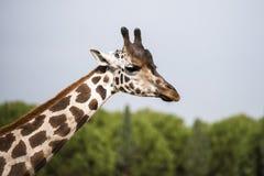 Жираф в национальном парке Стоковые Фотографии RF
