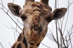 Жираф в национальном парке Chobe Стоковая Фотография RF