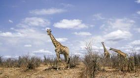 Жираф в национальном парке Kruger, Южной Африке Стоковые Изображения RF