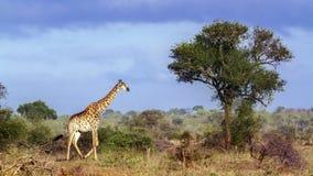 Жираф в национальном парке Kruger, Южной Африке Стоковое Фото