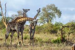 Жираф в национальном парке Kruger, Южной Африке Стоковое Изображение