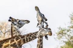 Жираф в национальном парке Kruger, Южной Африке Стоковая Фотография RF