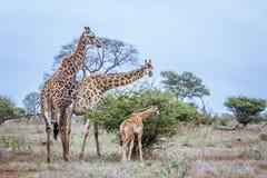Жираф в национальном парке Kruger, Южной Африке Стоковые Изображения