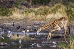 Жираф в национальном парке Kruger, Южной Африке Стоковое Изображение RF