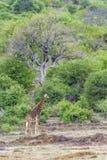 Жираф в национальном парке Kruger, Южной Африке Стоковые Фото