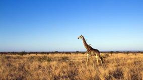 Жираф в национальном парке Kruger Стоковая Фотография