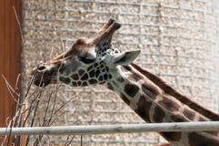 Жираф в открытом зоопарке есть дерево ветви Стоковые Изображения