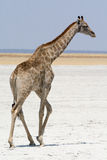 Жираф в пустыне возглавляя  стоковые изображения rf