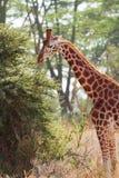 Жираф в Amboseli, Кении Стоковое Изображение
