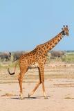 Жираф в Amboseli, Кении Стоковое Изображение RF