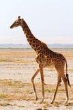 Жираф в Amboseli, Кении Стоковое фото RF