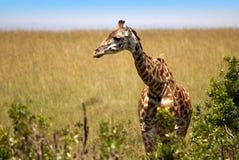 Жираф в Masai Mara Стоковое Изображение