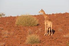 Жираф в Namib Стоковое фото RF