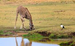 Жираф гнуть для того чтобы принять питье от waterhole в южном Luangwa Стоковое Изображение RF