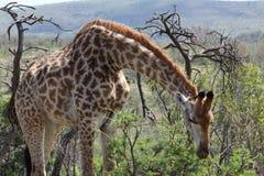 Жираф гнуть сверх Стоковое Изображение RF