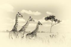 Жираф группы в национальном парке Кении Винтажное влияние Стоковые Фотографии RF
