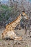 Жираф лежа в парке kruger Стоковые Изображения