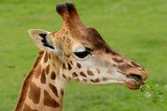 Жираф есть ветвь Стоковое Фото