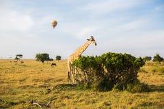 Жираф есть дерево выходит в саванну на Африке Стоковые Фотографии RF