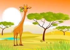Жираф есть листья в Африке на заходе солнца Стоковое Фото