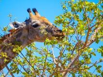Жираф есть листья от дерева Стоковые Фото