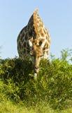 Жираф есть листья с низкого куста Стоковая Фотография