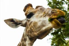 Жираф есть листья дерева Головной крупный план жирафа идя в саванну Стоковые Изображения