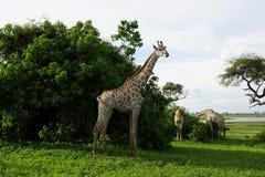 Жираф есть от куста стоковое изображение rf