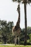 Жираф есть пальму Стоковая Фотография RF