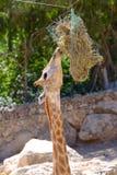 Жираф ест в зоопарке Иерусалима библейском стоковые фото