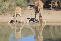 Жираф - живая природа от Африки - животные мамы и младенцы 2 Стоковые Изображения RF