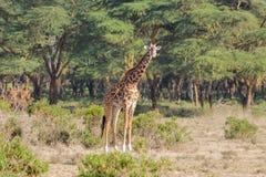 Жираф живой природы Африки в саванне Стоковая Фотография RF