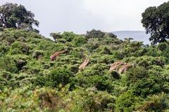 Жираф жирафа в зоне консервации Ngorongoro Стоковые Фотографии RF