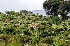 Жираф жирафа в зоне консервации Ngorongoro Стоковое Изображение