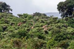 Жираф жирафа в зоне консервации Ngorongoro Стоковая Фотография